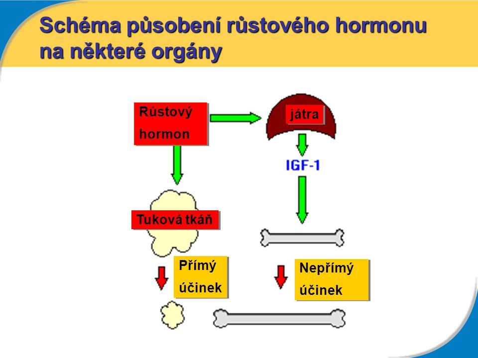 Schéma působení růstového hormonu na některé orgány Růstový hormon Růstový hormon játra Tuková tkáň Přímý účinek Přímý účinek Nepřímý účinek Nepřímý ú