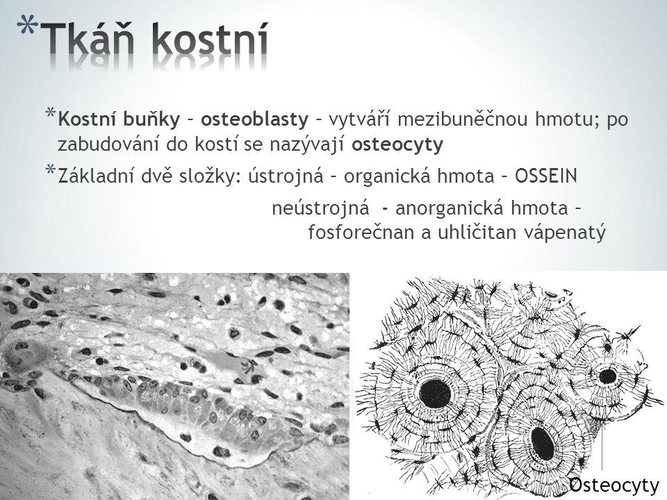 * Kostní buňky – osteoblasty – vytváří mezibuněčnou hmotu; po zabudování do kostí se nazývají osteocyty * Základní dvě složky: ústrojná – organická hmota – OSSEIN neústrojná - anorganická hmota – fosforečnan a uhličitan vápenatý Osteocyty