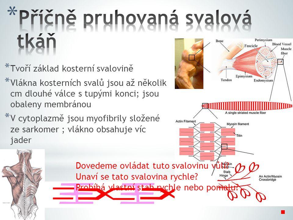* Tvoří základ kosterní svalovině * Vlákna kosterních svalů jsou až několik cm dlouhé válce s tupými konci; jsou obaleny membránou * V cytoplazmě jsou myofibrily složené ze sarkomer ; vlákno obsahuje víc jader Dovedeme ovládat tuto svalovinu vůlí.