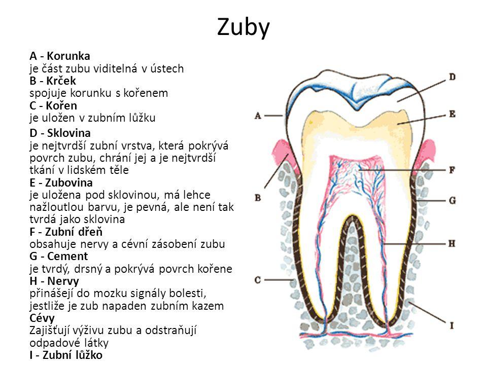 Zuby A - Korunka je část zubu viditelná v ústech B - Krček spojuje korunku s kořenem C - Kořen je uložen v zubním lůžku D - Sklovina je nejtvrdší zubn