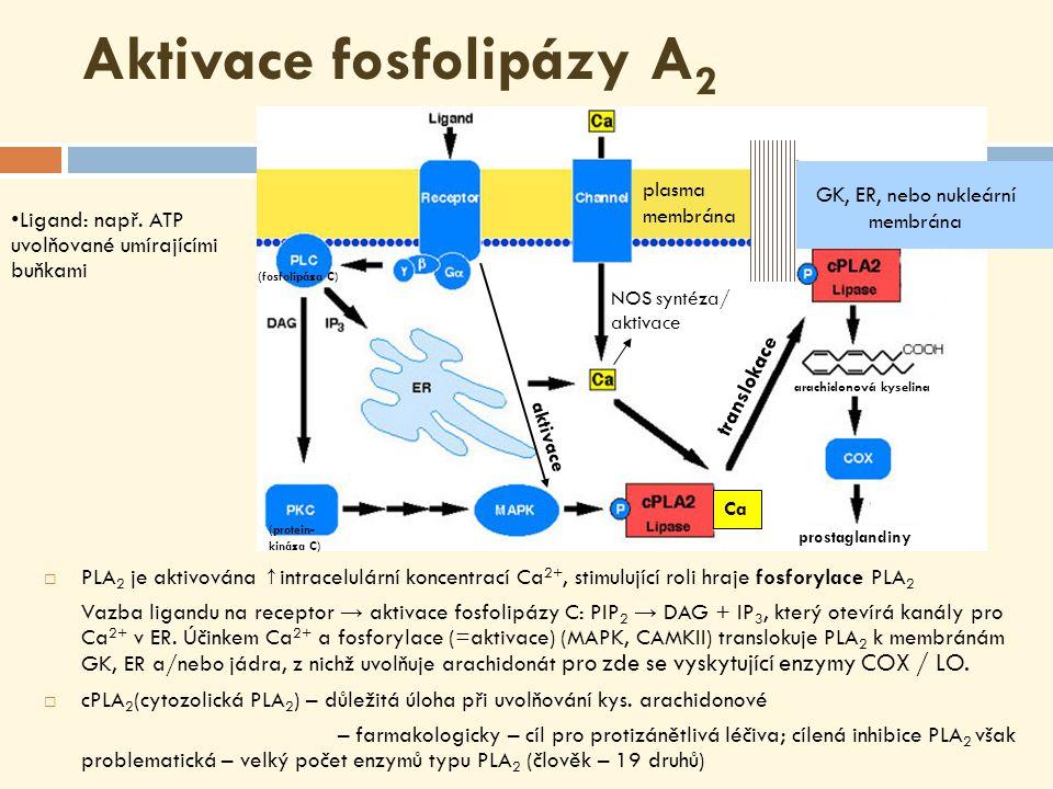  PLA 2 je aktivována ↑ intracelulární koncentrací Ca 2+, stimulující roli hraje fosforylace PLA 2 Vazba ligandu na receptor → aktivace fosfolipázy C: PIP 2 → DAG + IP 3, který otevírá kanály pro Ca 2+ v ER.