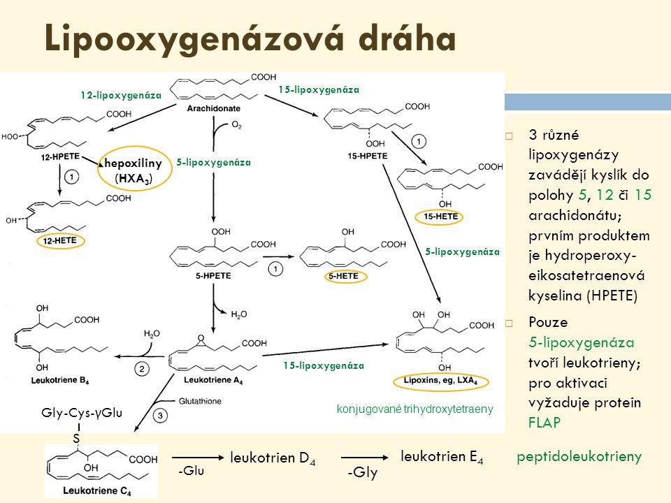 Lipooxygenázová dráha  3 různé lipoxygenázy zavádějí kyslík do polohy 5, 12 či 15 arachidonátu; prvním produktem je hydroperoxy- eikosatetraenová kyselina (HPETE)  Pouze 5-lipoxygenáza tvoří leukotrieny; pro aktivaci vyžaduje protein FLAP Gly-Cys- γ Glu S -Glu leukotrien D 4 leukotrien E 4 -Gly peptidoleukotrieny hepoxiliny (HXA 3 ) konjugované trihydroxytetraeny 15-lipoxygenáza 5-lipoxygenáza 15-lipoxygenáza 12-lipoxygenáza