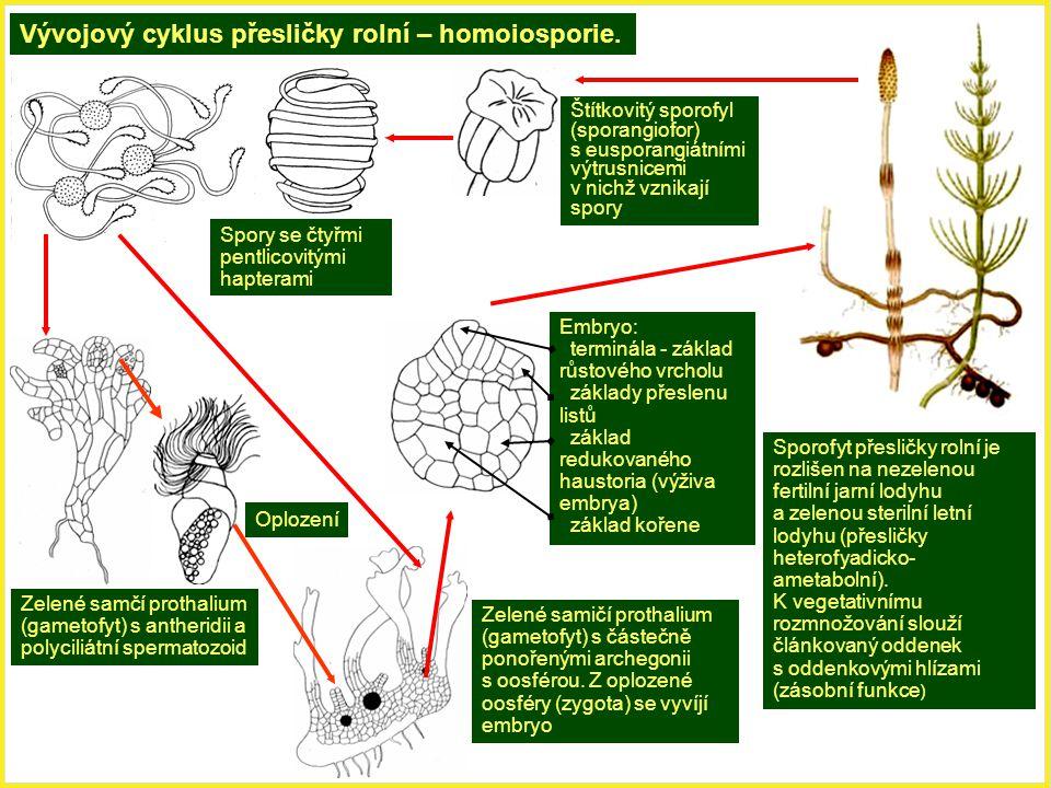 Vývojový cyklus přesličky rolní – homoiosporie. Sporofyt přesličky rolní je rozlišen na nezelenou fertilní jarní lodyhu a zelenou sterilní letní lodyh