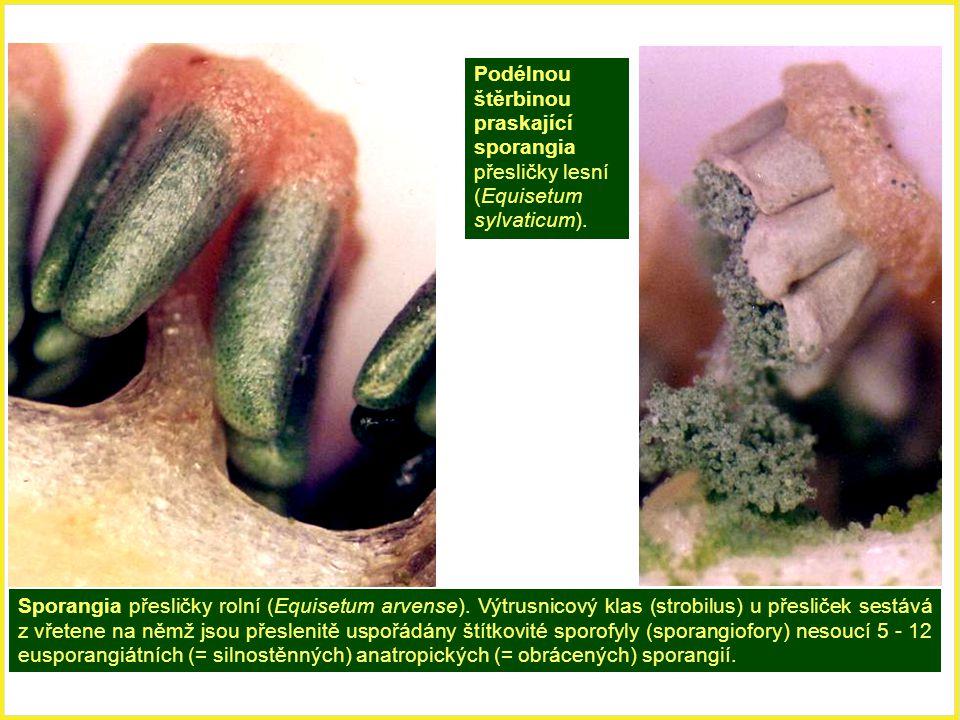 Sporangia přesličky rolní (Equisetum arvense). Výtrusnicový klas (strobilus) u přesliček sestává z vřetene na němž jsou přeslenitě uspořádány štítkovi