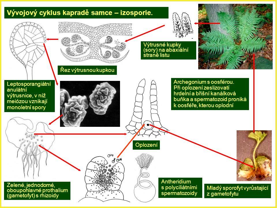 Vývojový cyklus kapradě samce – izosporie. Výtrusné kupky (sory) na abaxiální straně listu Řez výtrusnou kupkou Leptosporangiátní anulátní výtrusnice,