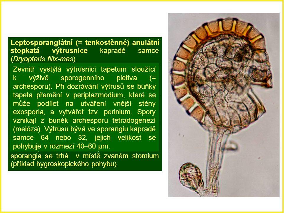 Leptosporangiátní (= tenkostěnné) anulátní stopkatá výtrusnice kapradě samce (Dryopteris filix-mas). Anulátní výtrusnice mají dehiscenční aparát v pod