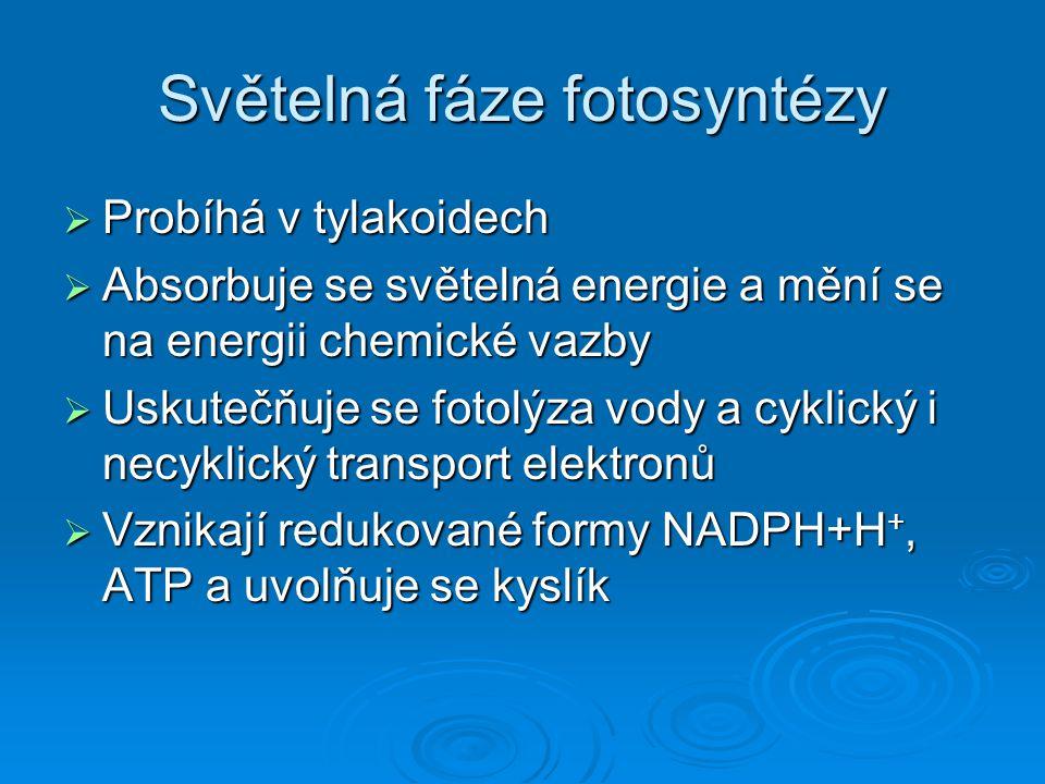 Světelná fáze fotosyntézy  Probíhá v tylakoidech  Absorbuje se světelná energie a mění se na energii chemické vazby  Uskutečňuje se fotolýza vody a