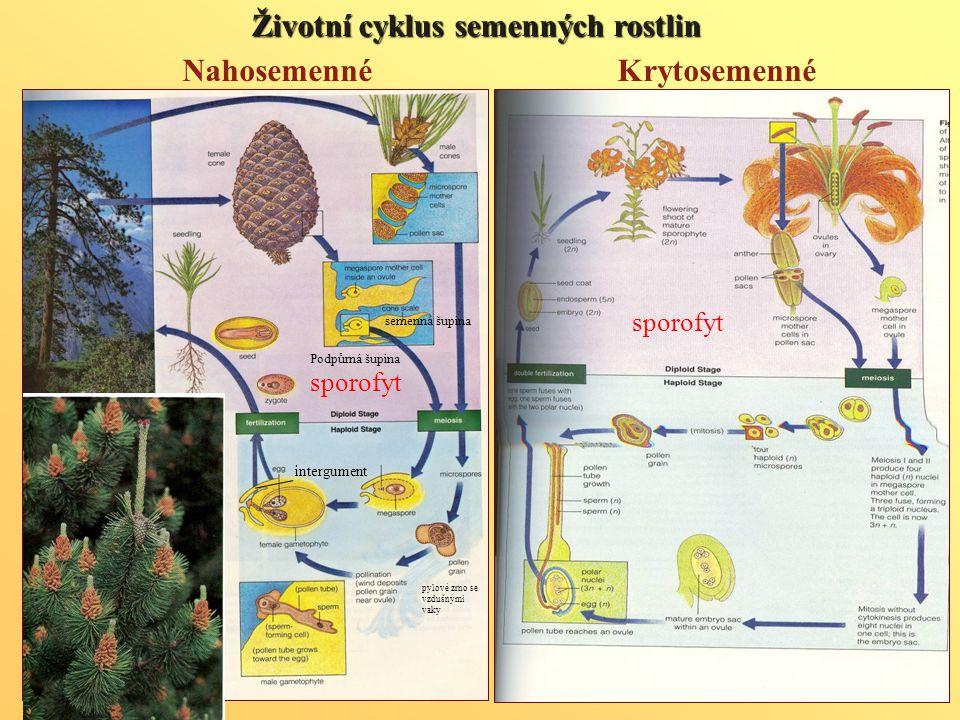 Životnícyklus semenných rostlin Životní cyklus semenných rostlin Krytosemenné sporofyt Nahosemenné sporofyt Podpůrná šupina semenná šupina intergument