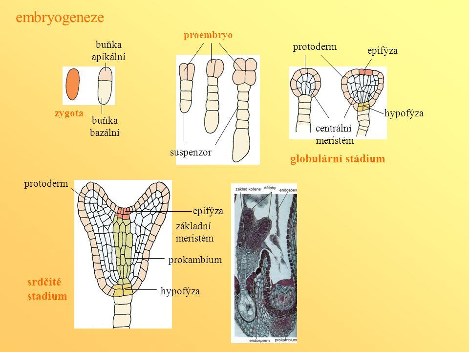 embryogeneze zygota buňka apikální buňka bazální proembryo suspenzor protoderm globulární stádium epifýza hypofýza protoderm epifýza hypofýza centráln