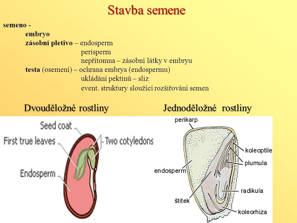 Dvouděložné rostliny Stavba semene semeno - embryo zásobní pletivo – endosperm perisperm nepřítomna – zásobní látky v embryu testa (osemení) – ochrana