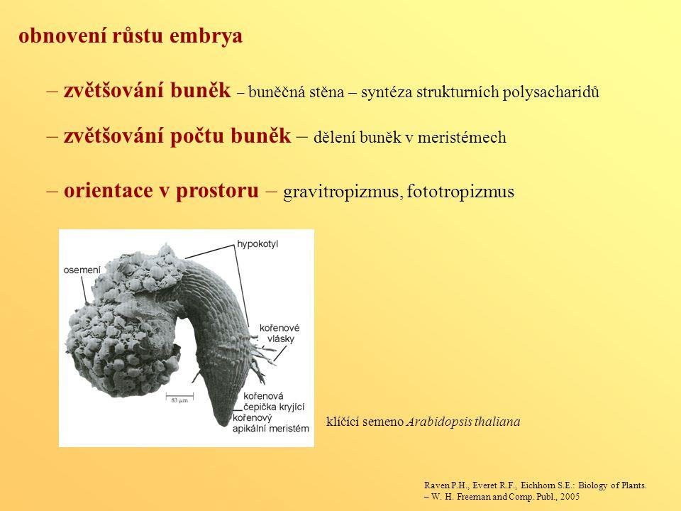 obnovení růstu embrya – zvětšování buněk – buněčná stěna – syntéza strukturních polysacharidů – zvětšování počtu buněk – dělení buněk v meristémech –