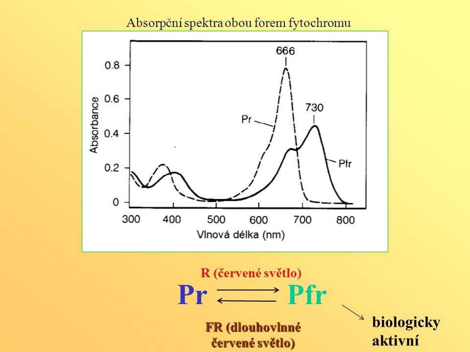PrPfr R (červené světlo) FR (dlouhovlnné červené světlo) Absorpční spektra obou forem fytochromu biologicky aktivní