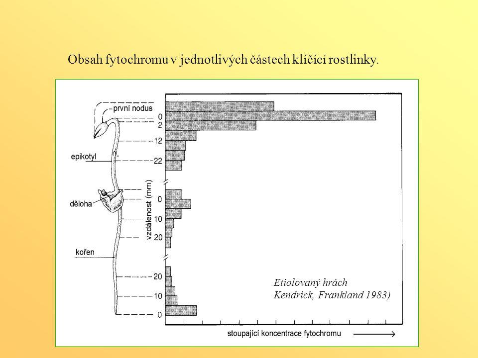 Obsah fytochromu v jednotlivých částech klíčící rostlinky. Etiolovaný hrách Kendrick, Frankland 1983)