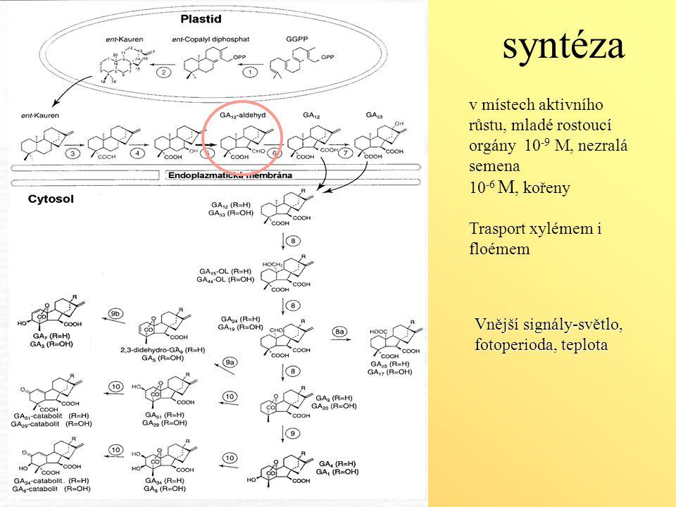 syntéza v místech aktivního růstu, mladé rostoucí orgány 10 -9 M, nezralá semena 10 -6 M, kořeny Trasport xylémem i floémem Vnější signály-světlo, fot