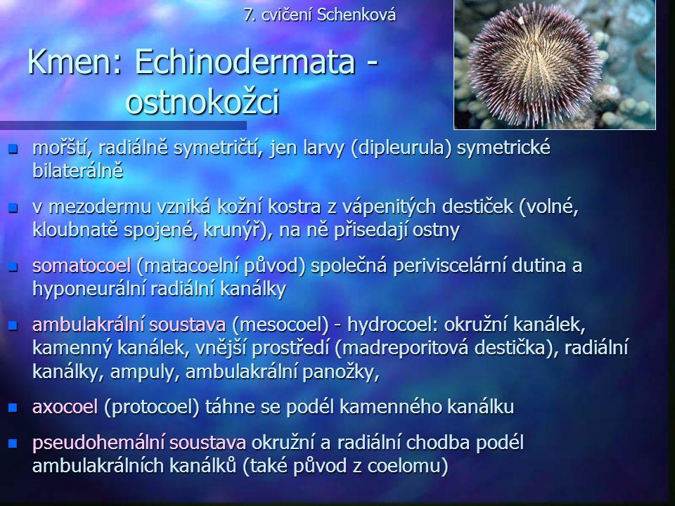Kmen: Echinodermata - ostnokožci n mořští, radiálně symetričtí, jen larvy (dipleurula) symetrické bilaterálně n v mezodermu vzniká kožní kostra z vápe