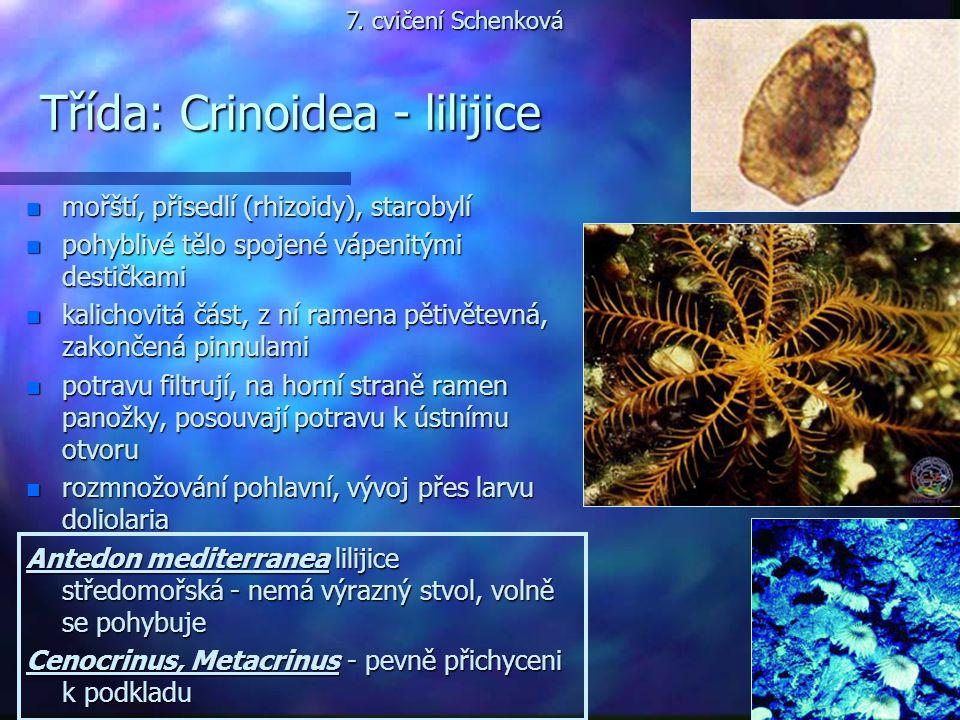 Třída: Crinoidea - lilijice n mořští, přisedlí (rhizoidy), starobylí n pohyblivé tělo spojené vápenitými destičkami n kalichovitá část, z ní ramena pě