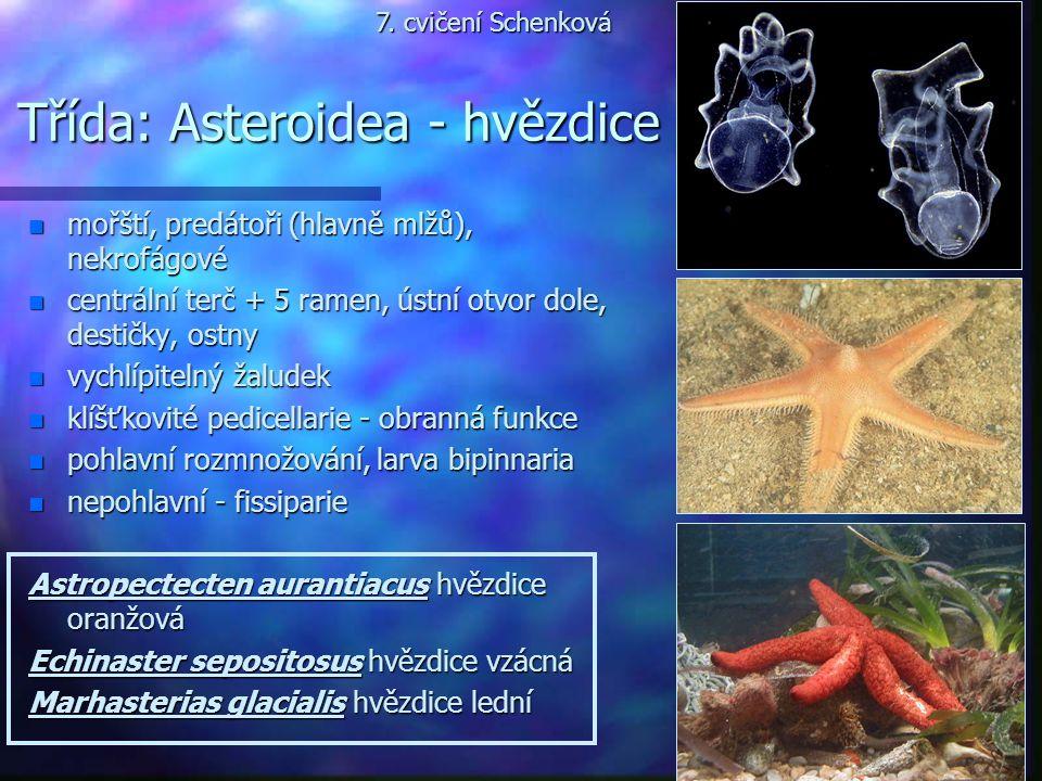Třída: Asteroidea - hvězdice n mořští, predátoři (hlavně mlžů), nekrofágové n centrální terč + 5 ramen, ústní otvor dole, destičky, ostny n vychlípite
