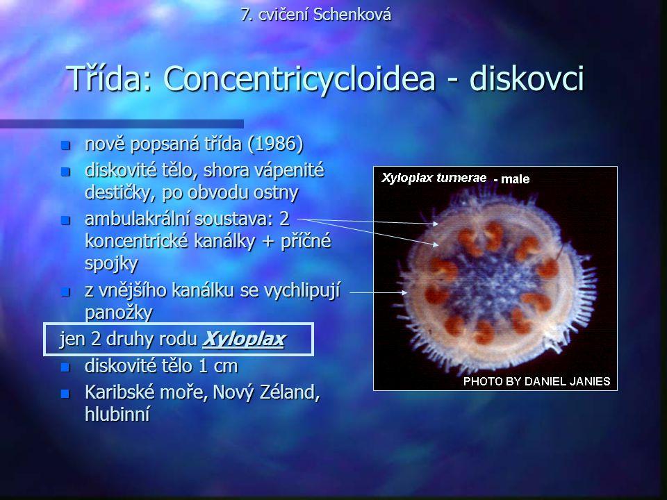 Třída: Concentricycloidea - diskovci n nově popsaná třída (1986) n diskovité tělo, shora vápenité destičky, po obvodu ostny n ambulakrální soustava: 2