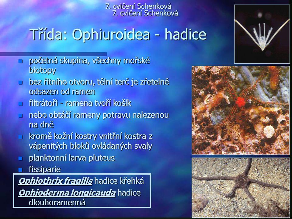 Třída: Ophiuroidea - hadice n početná skupina, všechny mořské biotopy n bez řitního otvoru, tělní terč je zřetelně odsazen od ramen n filtrátoři - ram