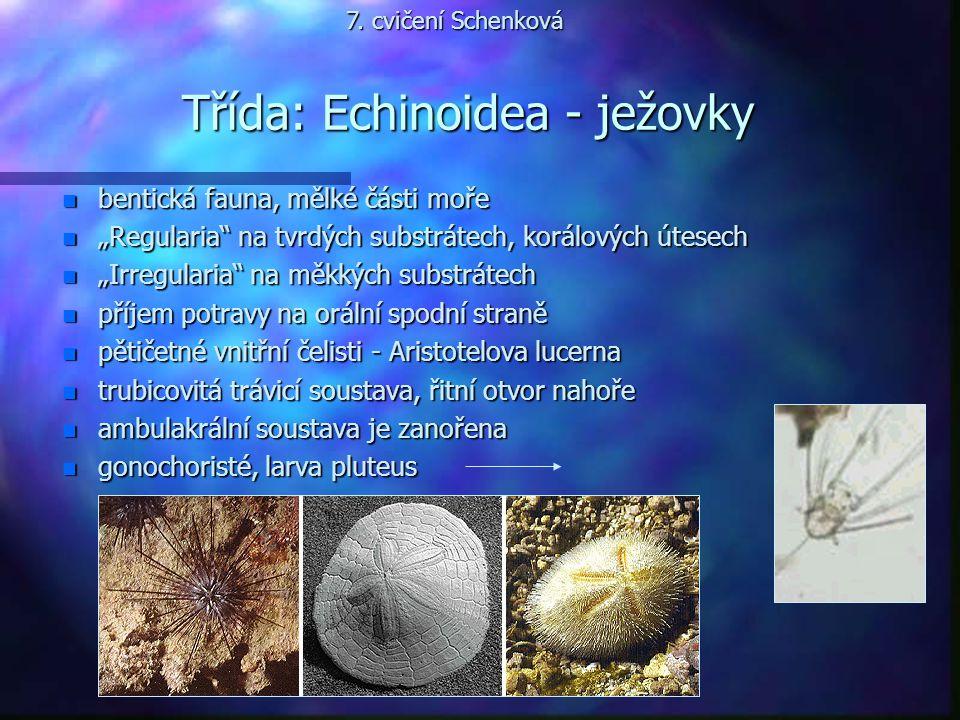 """Třída: Echinoidea - ježovky n bentická fauna, mělké části moře n """"Regularia"""" na tvrdých substrátech, korálových útesech n """"Irregularia"""" na měkkých sub"""