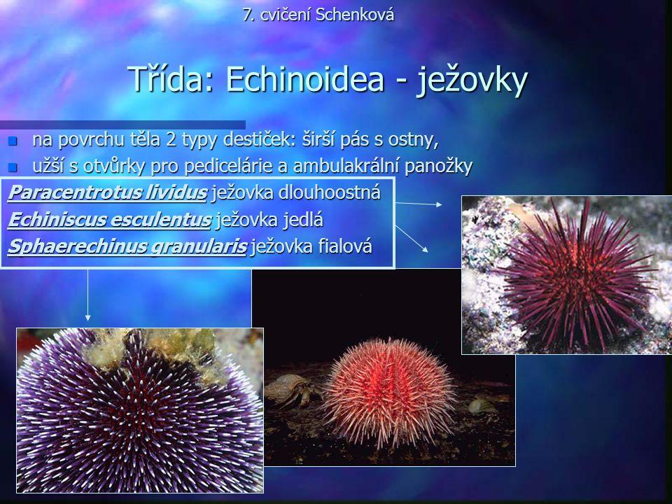 Třída: Echinoidea - ježovky n na povrchu těla 2 typy destiček: širší pás s ostny, n užší s otvůrky pro pedicelárie a ambulakrální panožky Paracentrotu