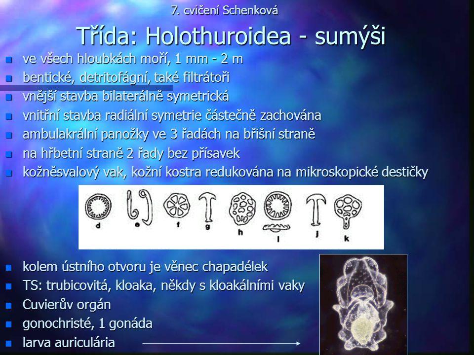 Třída: Holothuroidea - sumýši n ve všech hloubkách moří, 1 mm - 2 m n bentické, detritofágní, také filtrátoři n vnější stavba bilaterálně symetrická n