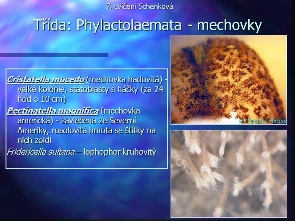 Třída: Phylactolaemata - mechovky Cristatella mucedo (mechovka hadovitá) - velké kolonie, statoblasty s háčky (za 24 hod o 10 cm) Pectinatella magnifi