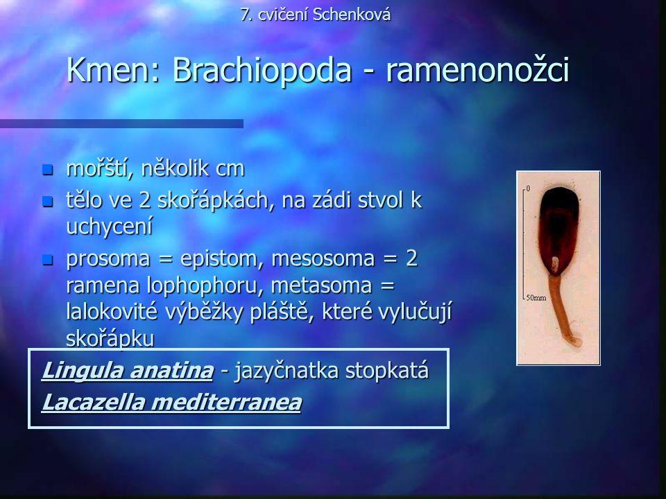 Kmen: Brachiopoda - ramenonožci n mořští, několik cm n tělo ve 2 skořápkách, na zádi stvol k uchycení n prosoma = epistom, mesosoma = 2 ramena lophoph