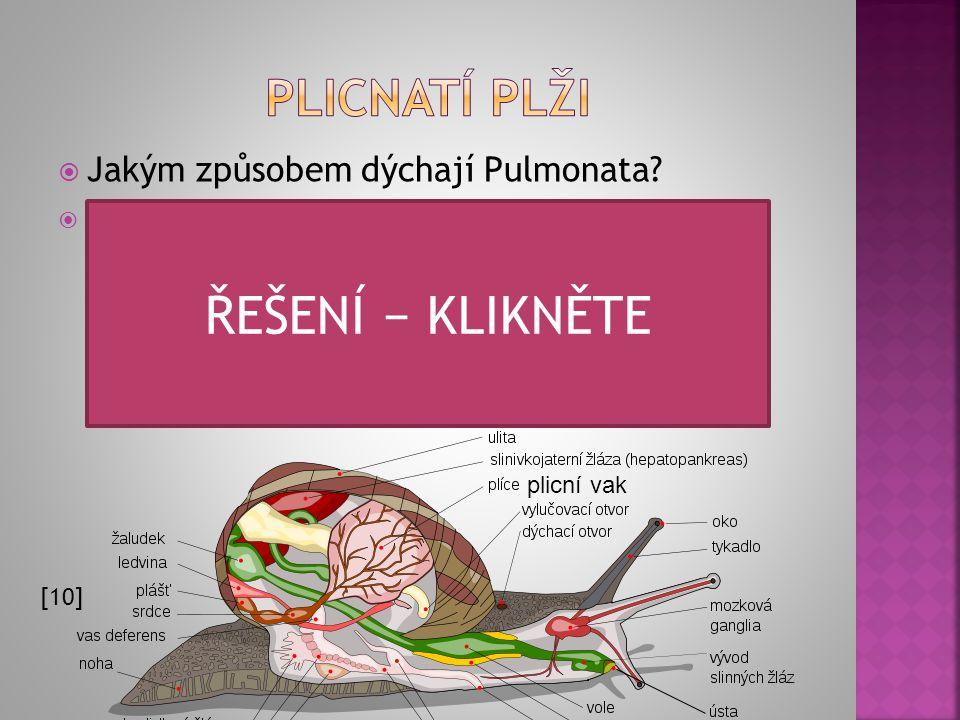  Jakým způsobem dýchají Pulmonata?  Plíce jsou tvořeny dutinou plicního vaku, což je přeměněná plášťová dutina. Vnitřní stěna je řasnatá nebo houbov