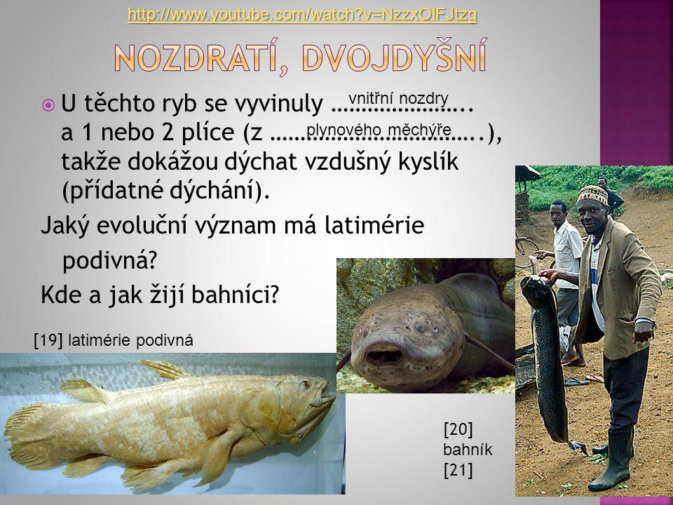  U těchto ryb se vyvinuly ………………….. a 1 nebo 2 plíce (z ……………………………..), takže dokážou dýchat vzdušný kyslík (přídatné dýchání). Jaký evoluční význam