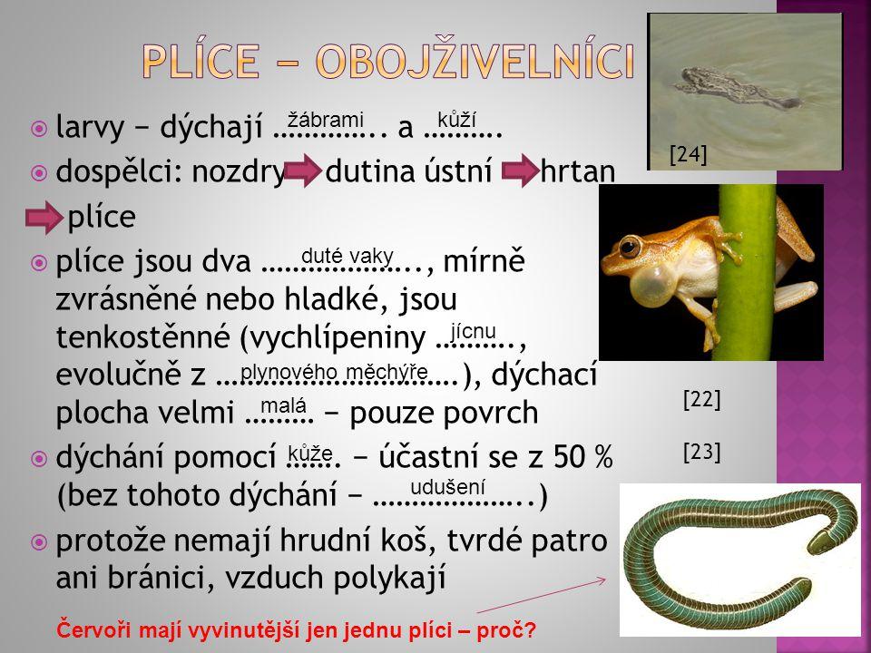 larvy − dýchají ………….. a ……….  dospělci: nozdry dutina ústní hrtan plíce  plíce jsou dva ……………….., mírně zvrásněné nebo hladké, jsou tenkostěnné (