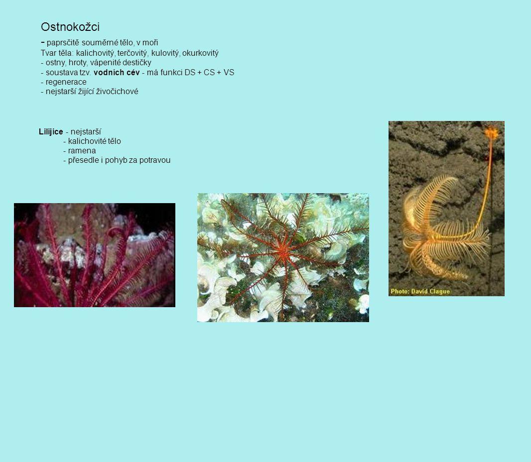 Ostnokožci - paprsčitě souměrné tělo, v moři Tvar těla: kalichovitý, terčovitý, kulovitý, okurkovitý - ostny, hroty, vápenité destičky - soustava tzv.