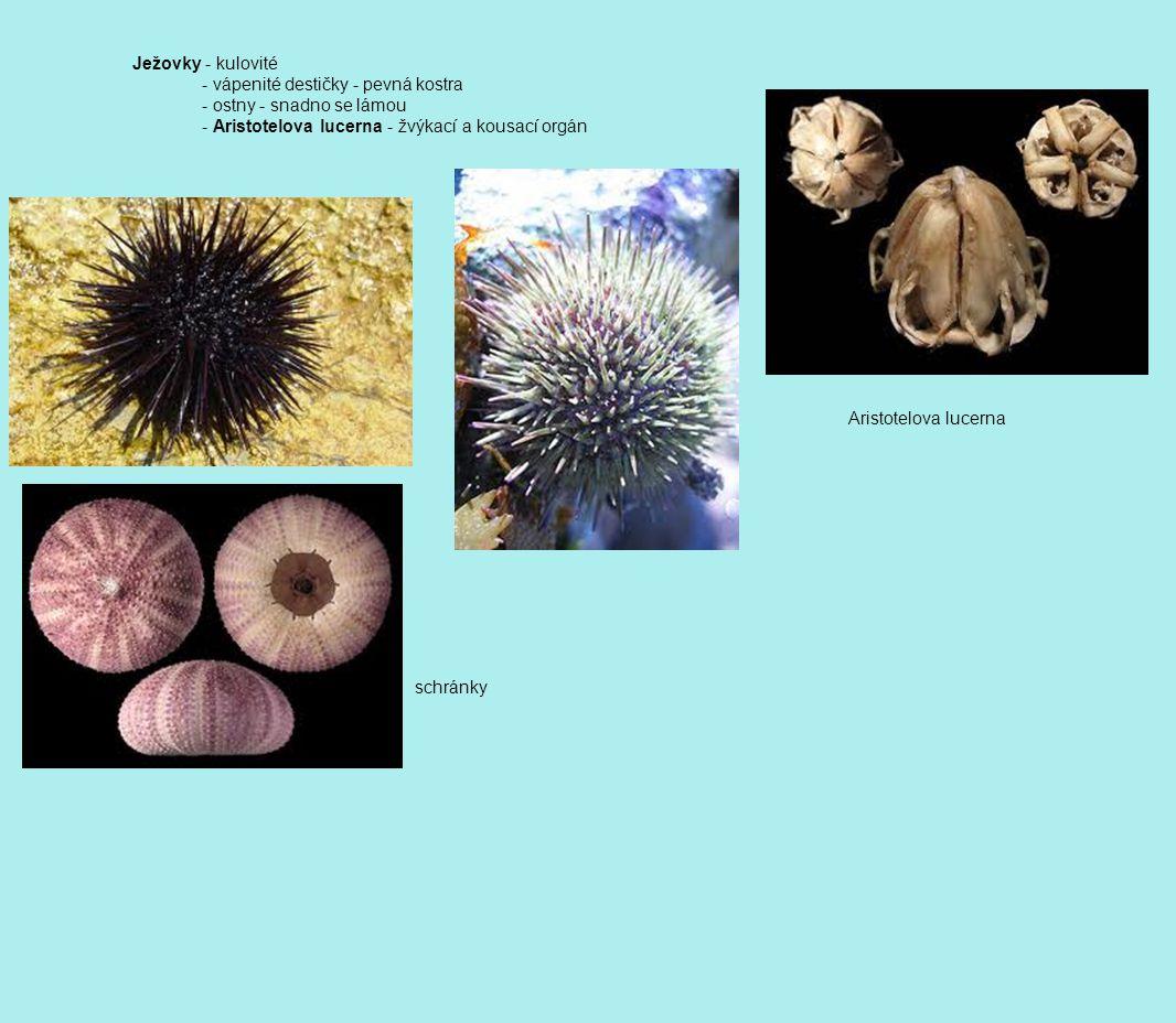 Ježovky - kulovité - vápenité destičky - pevná kostra - ostny - snadno se lámou - Aristotelova lucerna - žvýkací a kousací orgán schránky Aristotelova lucerna