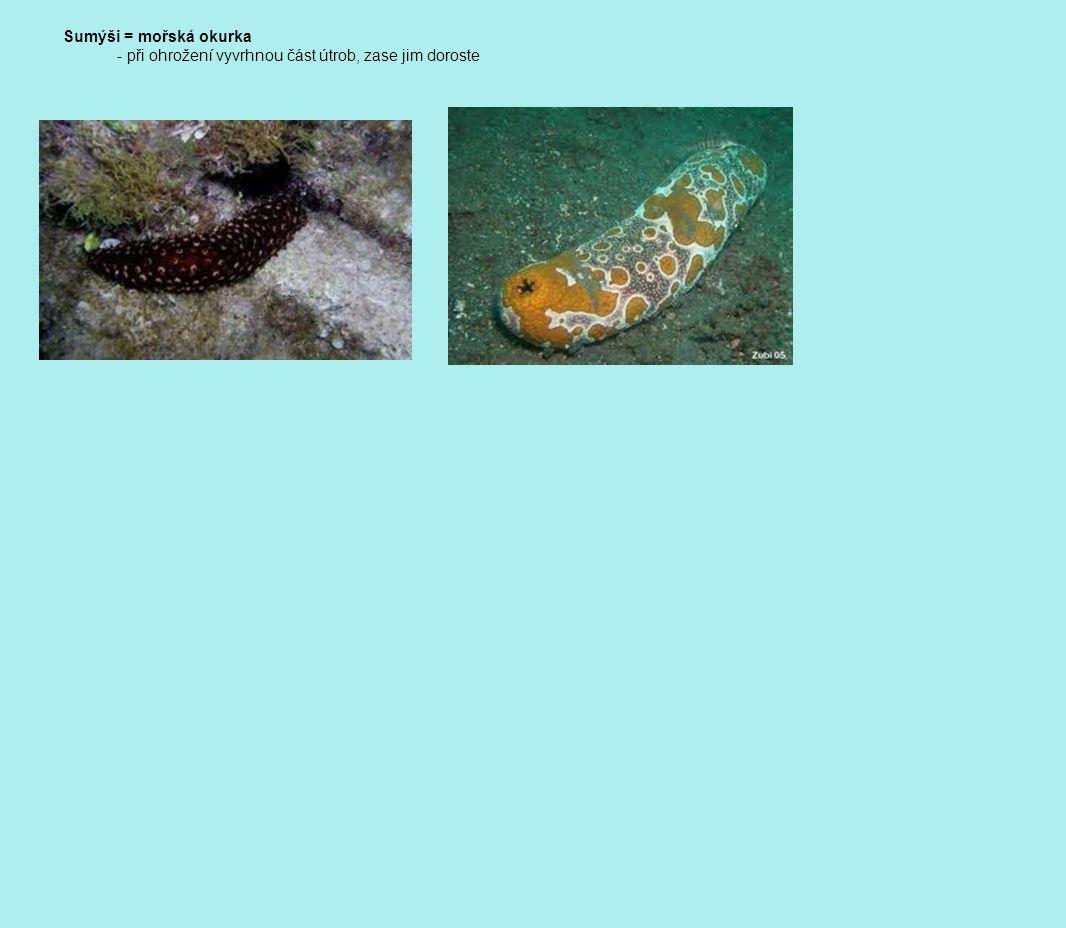 Sumýši = mořská okurka - při ohrožení vyvrhnou část útrob, zase jim doroste