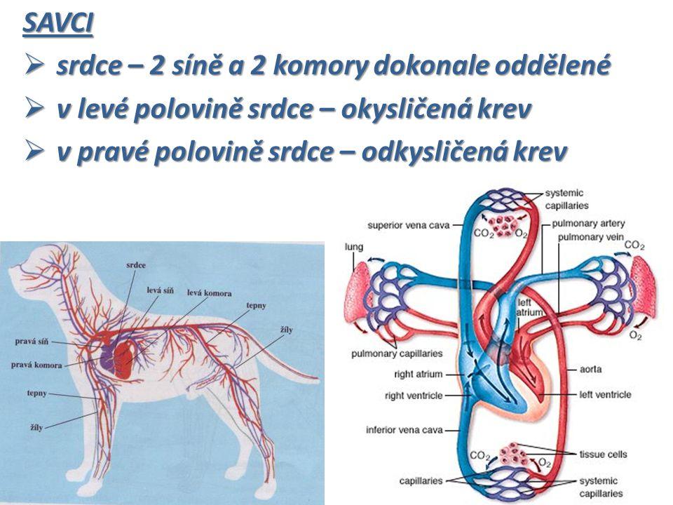 SAVCI  srdce – 2 síně a 2 komory dokonale oddělené  v levé polovině srdce – okysličená krev  v pravé polovině srdce – odkysličená krev