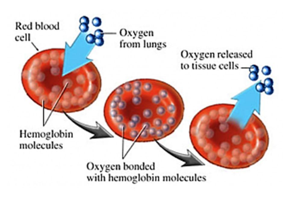 VŽDY UZAVŘENÁ CÉVNÍ SOUSTAVA SRDCE na břišní straně těla krev koluje v CÉVÁCH