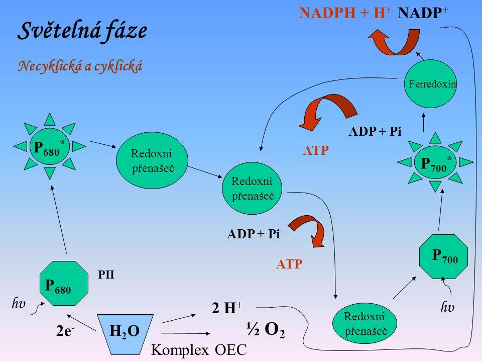 Světelná fáze Necyklický tok elektronů P 700 P 700 * Ferredoxin NADP + NADPH + H + P 680 P 680 * H2OH2O 2e - 2 H + ½ O 2 ADP + Pi ATP hυhυ hυhυ Komple
