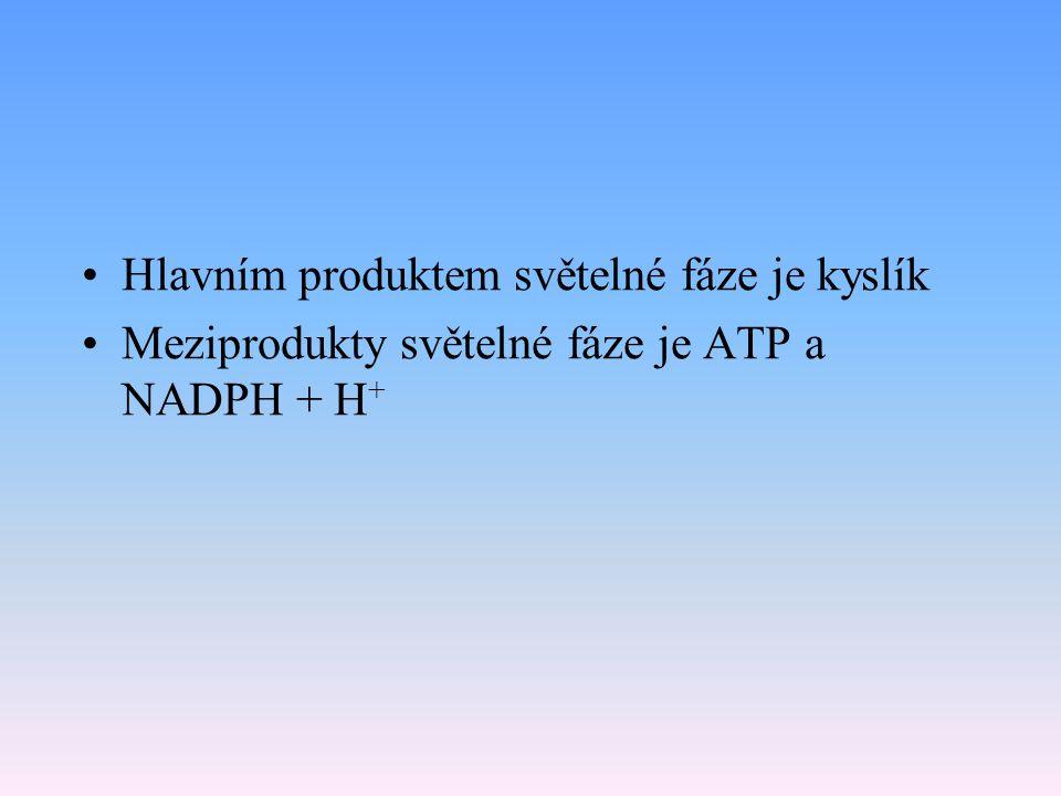 Shrnutí světelné fáze fotosyntézy Necyklický tok elektronů vzniká ATP, redukční koenzym NADPH + H + a kyslík zapojeny jsou dva fotosystémy, zdrojem el