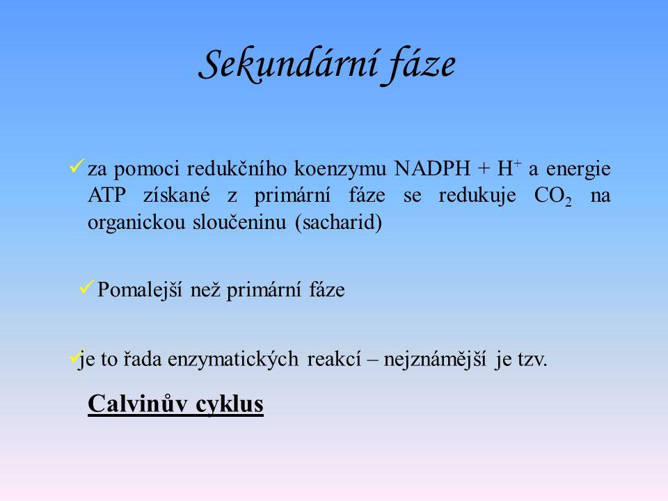Hlavním produktem světelné fáze je kyslík Meziprodukty světelné fáze je ATP a NADPH + H +