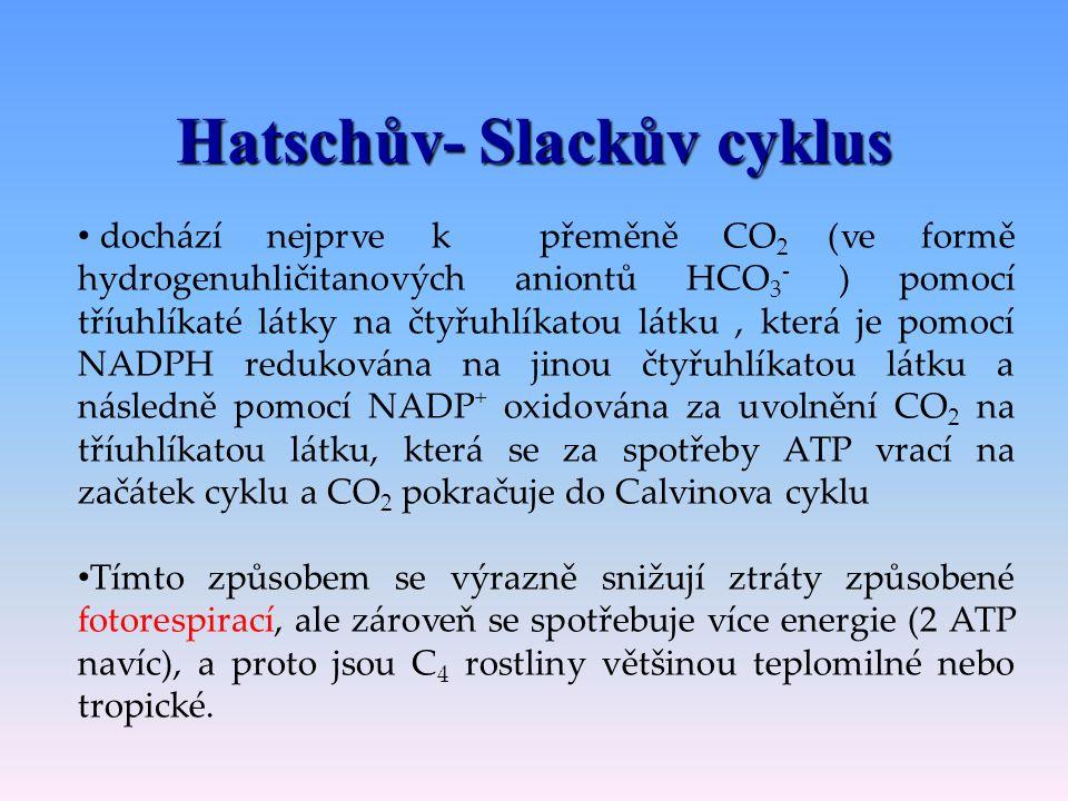 Hatschův- Slackův cyklus C 4 -cyklus, protože prvním stabilním meziproduktem je čtyřuhlíkatá látka Rostliny C 4 fixují oxid uhličitý dvakrát