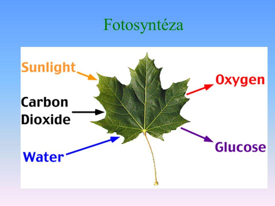 Fotosyntéza  Zachycuje sluneční energii a z oxidu uhličitého vyrábí organickou sloučeninu (sacharid)  6CO 2 + 12H 2 O→ C 6 H 12 O 6 + 6O 2 + 6H 2 O