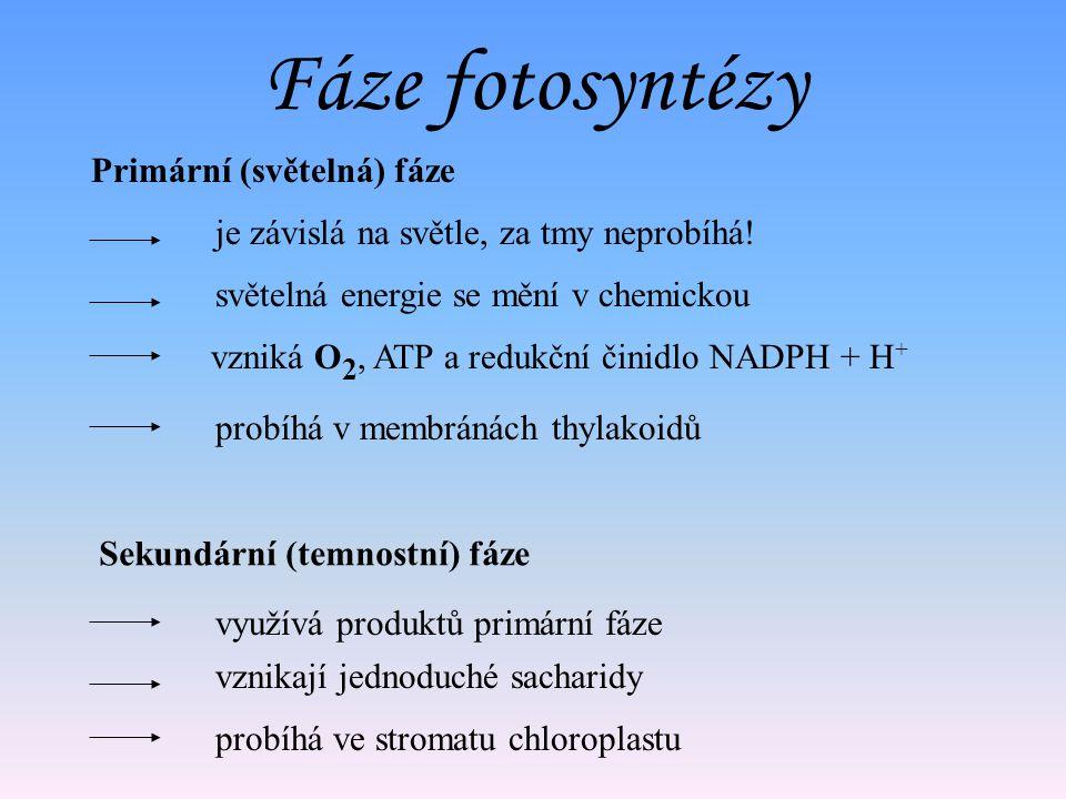 Fáze fotosyntézy světelná energie se mění v chemickou vznikají jednoduché sacharidy Primární (světelná) fáze je závislá na světle, za tmy neprobíhá.