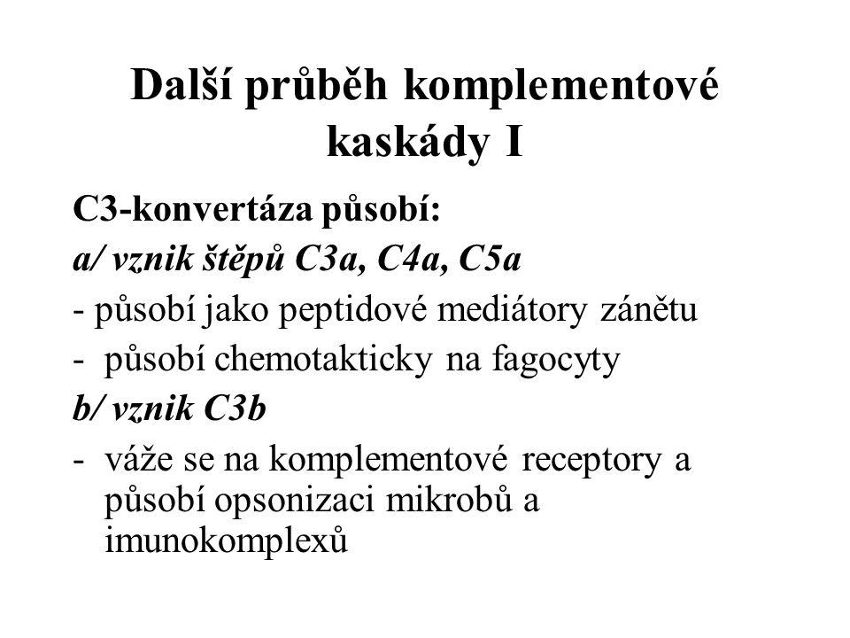Další průběh komplementové kaskády I C3-konvertáza působí: a/ vznik štěpů C3a, C4a, C5a - působí jako peptidové mediátory zánětu -působí chemotakticky