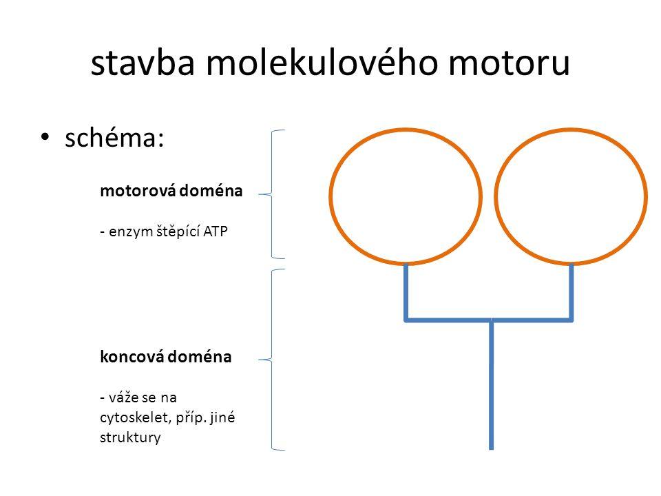 3 skupiny molekulových motorů liší se podle aktivace: – tubulinem jsou aktivovány dynein a kinezin → pohybují se podél mikrotubulů – aktinem je aktivován myozin → pohybuje se podél mikrofilament