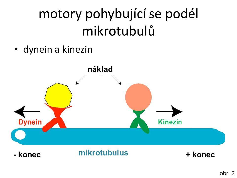 motory pohybující se podél mikrotubulů dynein a kinezin - konec+ konec náklad mikrotubulus Kinezin obr. 2