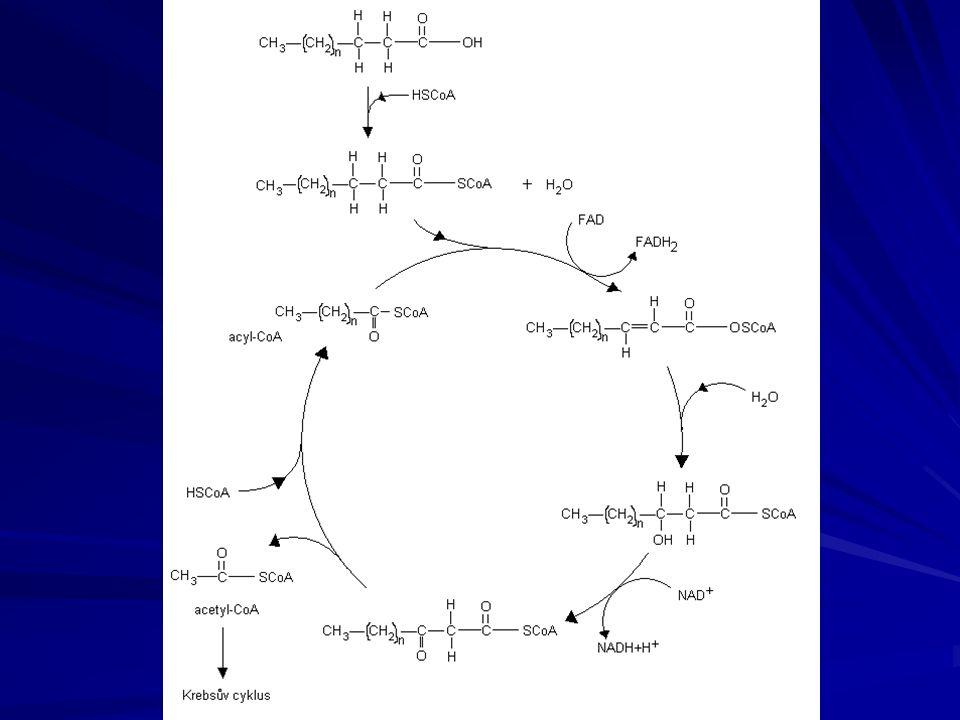 BIOSYNTÉZA LIPIDŮ probíhá v cytoplazmě buněk tukových tkání energeticky náročný děj, obě složky lipidů (glycerol a mastné kyseliny) musí být aktivovány (glycerol-3-fosfát, acyl-CoA) glycerol se tvoří redukcí dihydroxyacetonfosfátu (tedy opačně k jeho odbourávání) mastné kyseliny vznikají postupně skládáním z 2uhlíkatých štěpů (acetyl-CoA) karnitin – významná sloučenina, přenašeč molekuly acetyl-CoA přes membránu mitochondrií (je pro něj nepropustná)