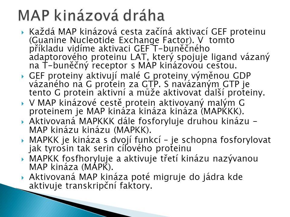  Každá MAP kinázová cesta začíná aktivací GEF proteinu (Guanine Nucleotide Exchange Factor).
