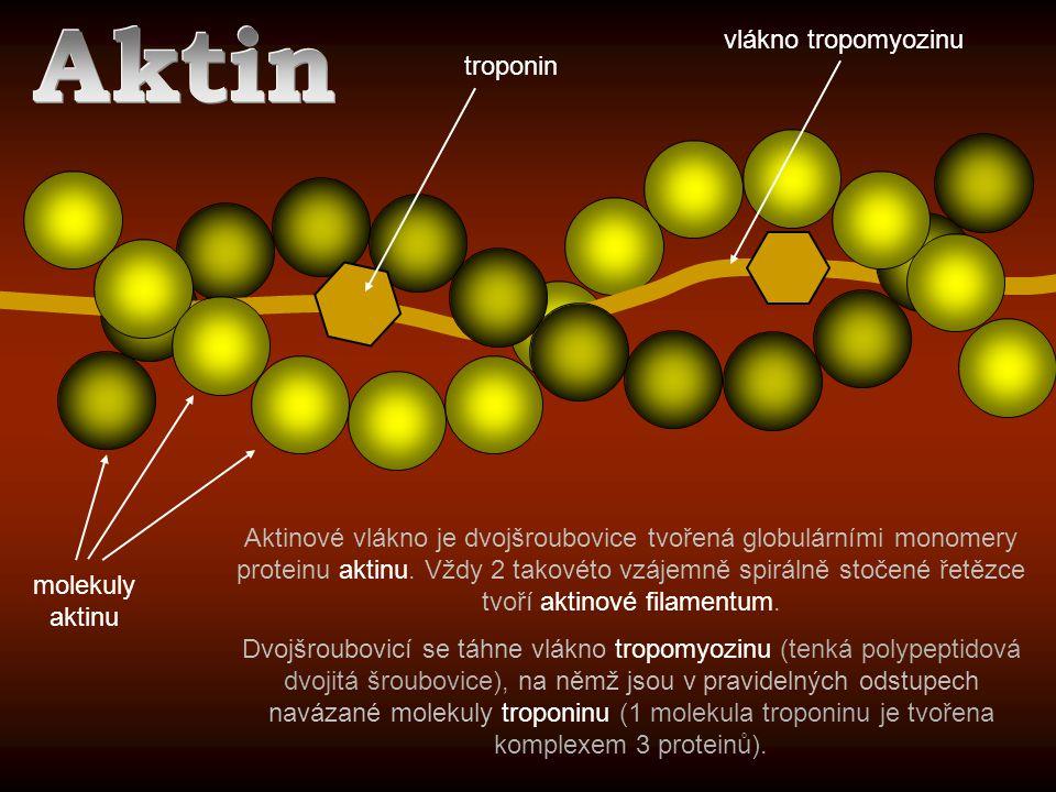 molekuly aktinu Aktinové vlákno je dvojšroubovice tvořená globulárními monomery proteinu aktinu. Vždy 2 takovéto vzájemně spirálně stočené řetězce tvo