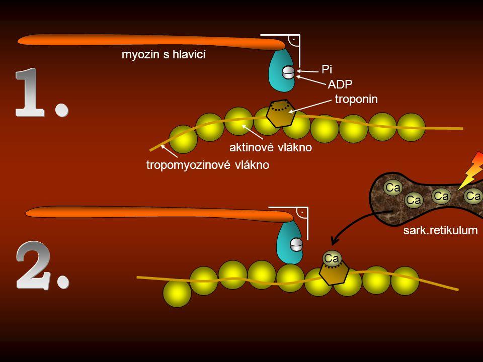 .. Ca myozin s hlavicí aktinové vlákno tropomyozinové vlákno troponin ADP Pi sark.retikulum