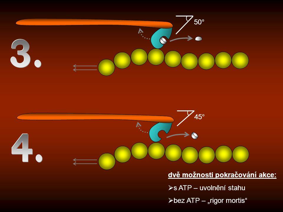 """50° 45° dvě možnosti pokračování akce:  s ATP – uvolnění stahu  bez ATP – """"rigor mortis"""""""